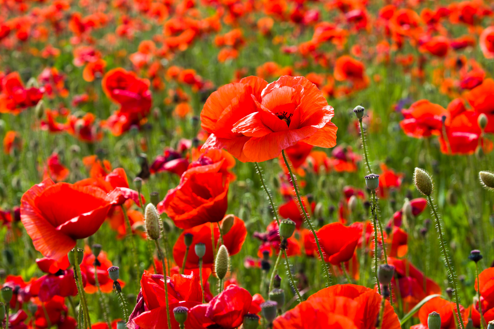 Now Morphine Can Be Created Without Poppies