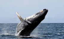Japan to resume killing whales