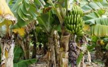 Fungus destroying banana plantations in Asia reaches Latin America