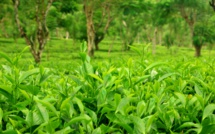 India, Kenya report problems with tea harvesting
