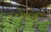 New Age Fungus Creating Havoc For Banana Cultivation