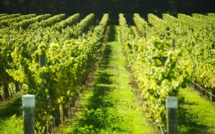 Global Warming Puts French Winemaking Under Threat